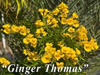 Ginger ThomasYellow Ginger Flower